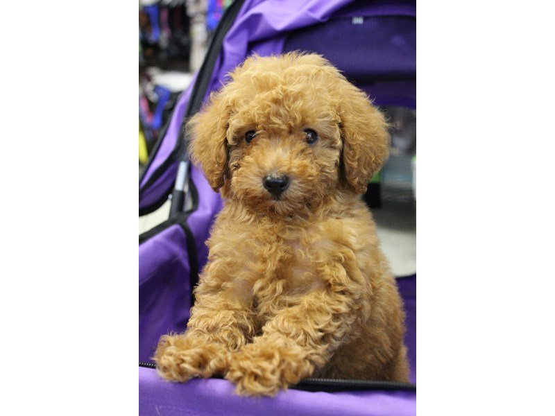 Miniature Poodle-Female-RED-2378592-Petland Montgomery
