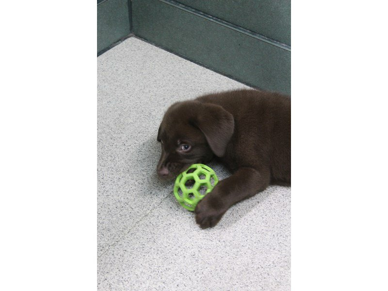 Labrador Retriever-Male-Chocolate-2334615-Petland Montgomery