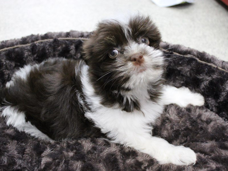 Havanese-Female-Chocolate / White-2356902-Petland Montgomery