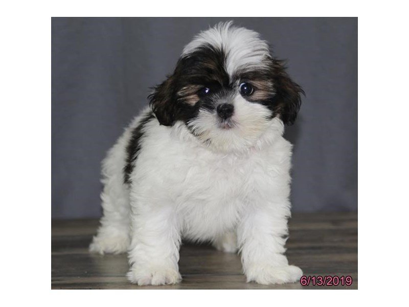 Lhasa Apso-Female-Red / White-2376997-Petland Montgomery