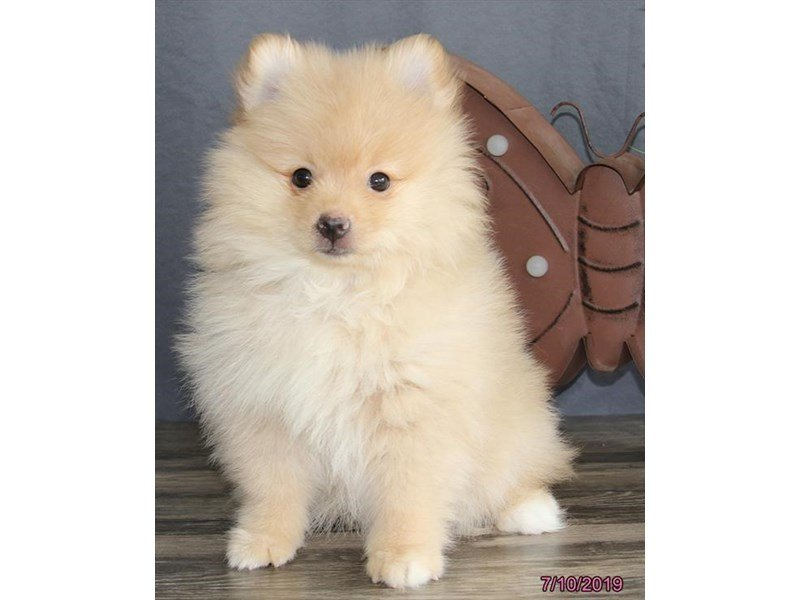 Pomeranian-Male-Red Sable-2400950-Petland Montgomery