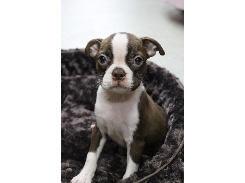 Boston Terrier-Female-Red / White-2406917-Petland Montgomery