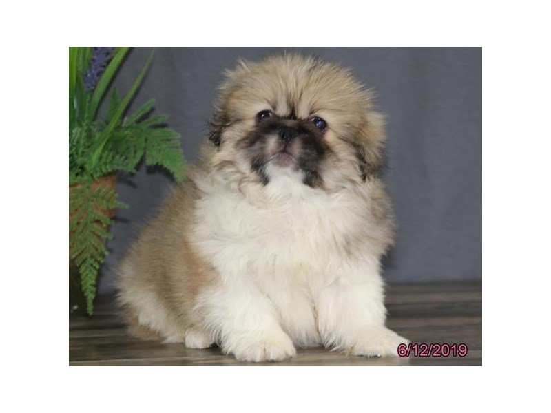 Pekingese-Male-Brown / White-2376989-Petland Montgomery