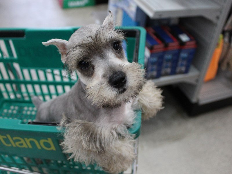Miniature Schnauzer-Male-SALT PEPPER-2396398-Petland Montgomery