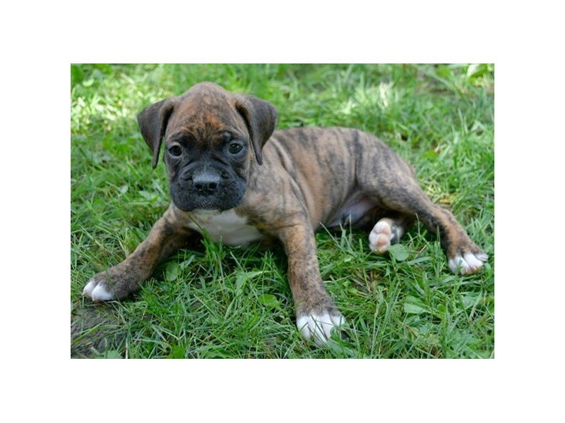 Boxer-Male-Brindle-2400971-Petland Montgomery