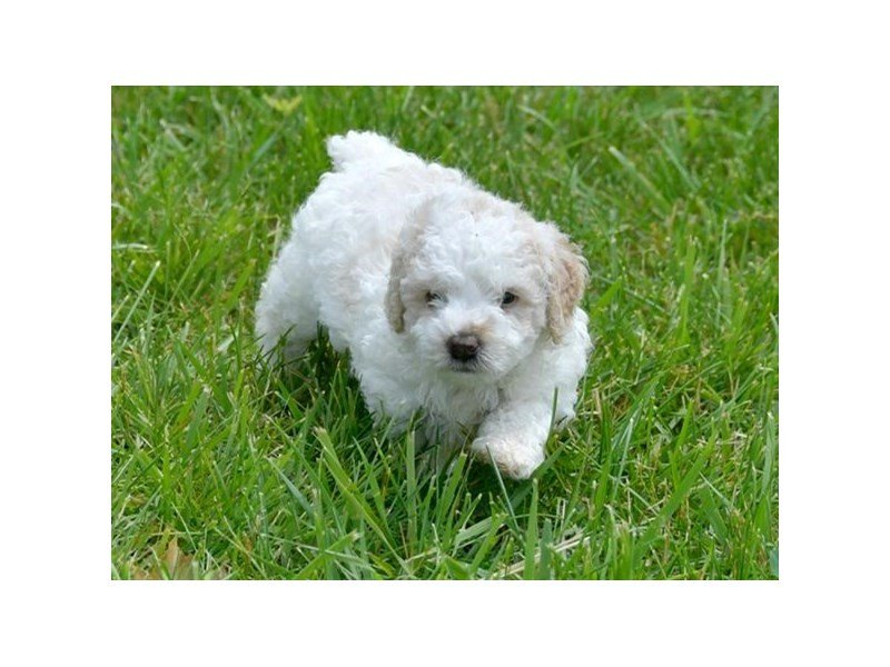 Miniature Poodle-Male-White / Gold-2406924-Petland Montgomery