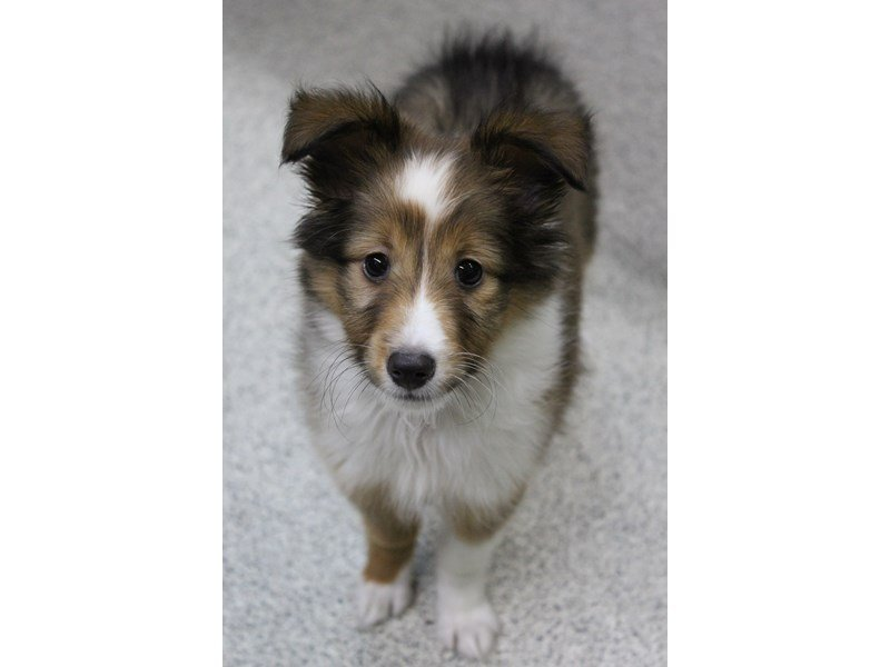 Shetland Sheepdog-Female-SABLE-2408594-Petland Montgomery