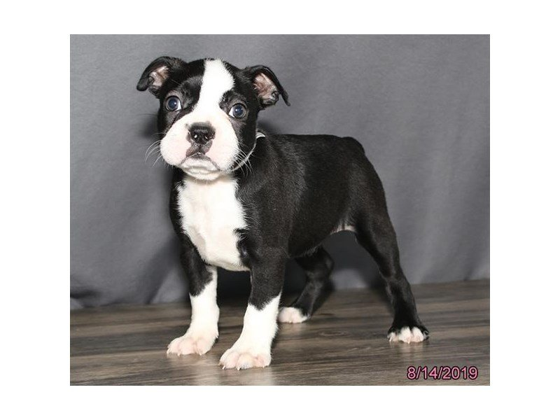 Boston Terrier-Female-Black / White-2431355-Petland Montgomery