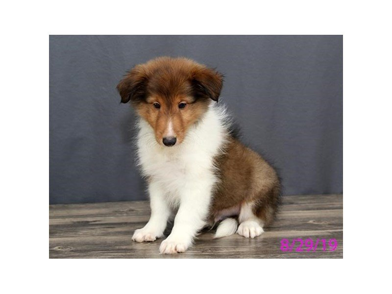 Shetland Sheepdog-Male-Sable / White-2443674-Petland Montgomery