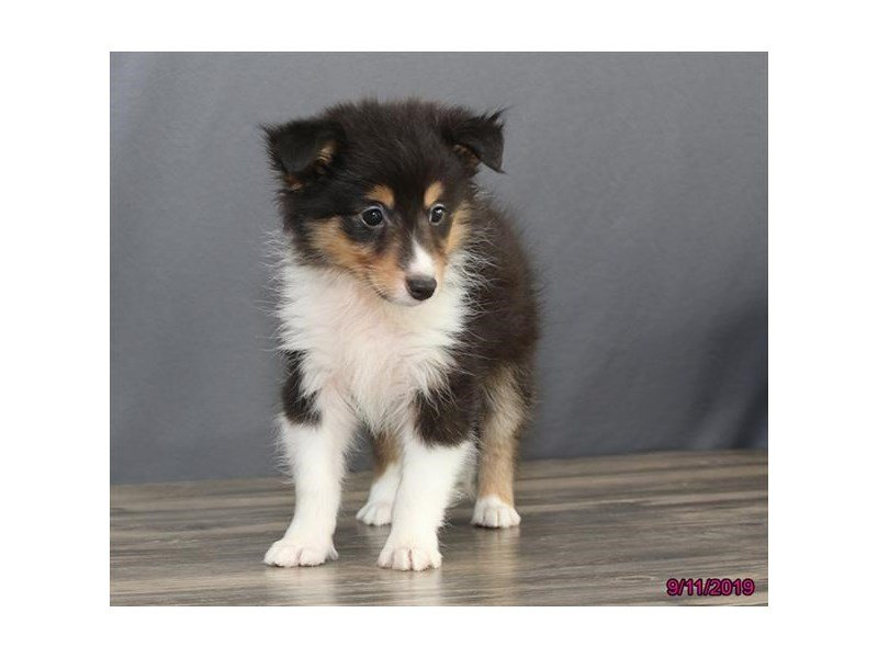 Shetland Sheepdog-Female-Black White / Tan-2456437-Petland Montgomery