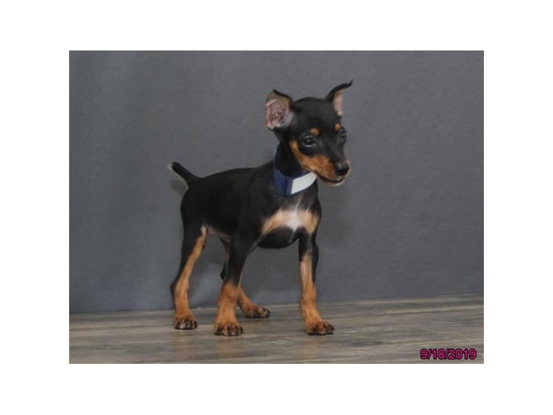 Miniature Pinscher Puppies Petland Montgomery