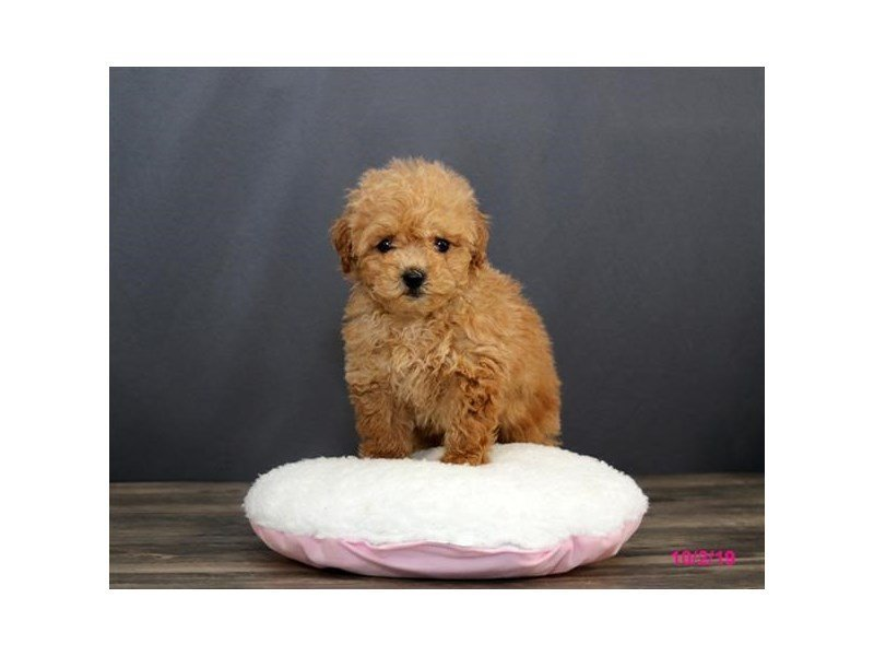 Poodle-Female-Red-2474353-Petland Montgomery