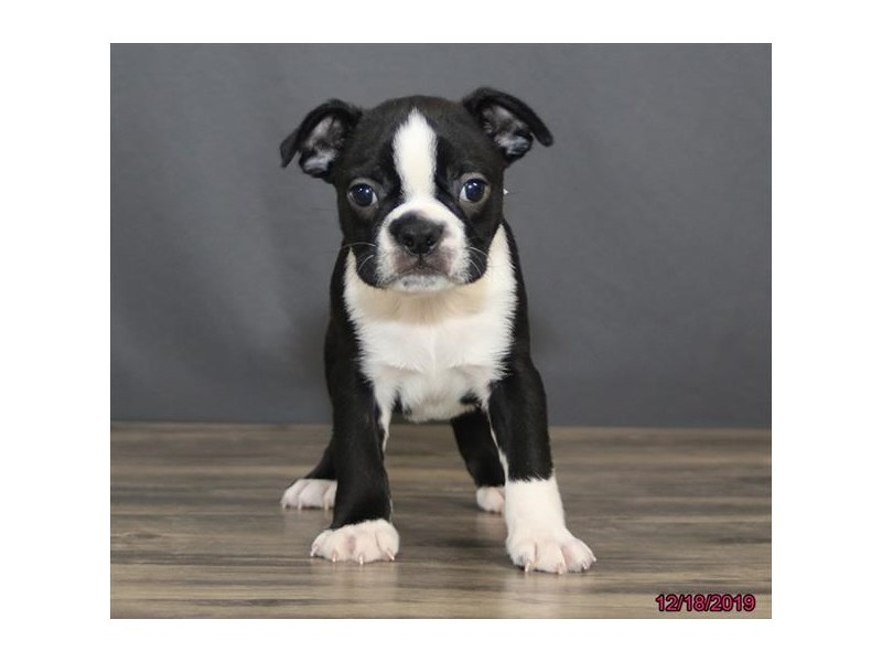 Boston Terrier-Male-Black / White-2566949-Petland Montgomery