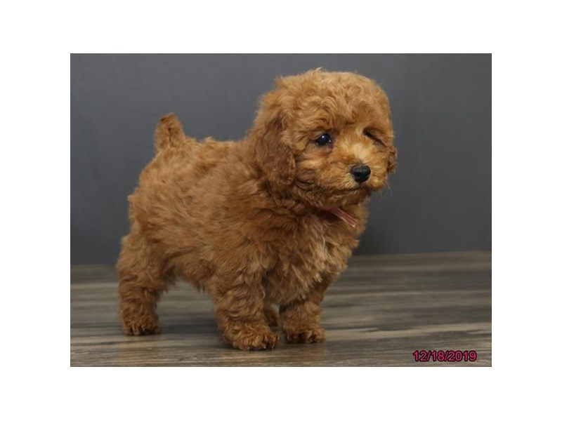 Poodle-Female-Red-2566953-Petland Montgomery