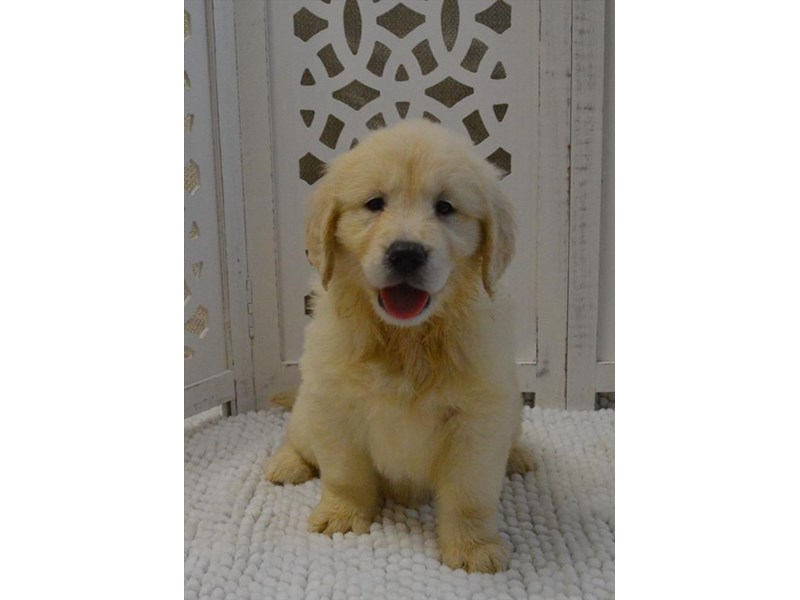 Golden Retriever-Female-Light Golden-2589013-Petland Montgomery