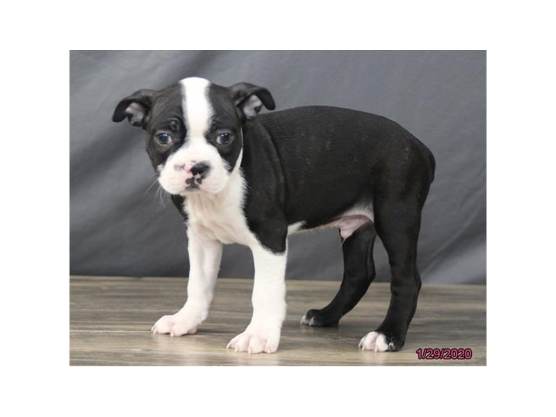 Boston Terrier-Male-Black / White-2608916-Petland Montgomery