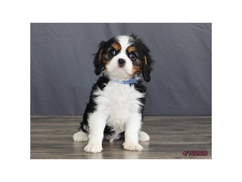 Cavalier King Charles Spaniel-Male-Tri-Colored-2684913-Petland Montgomery