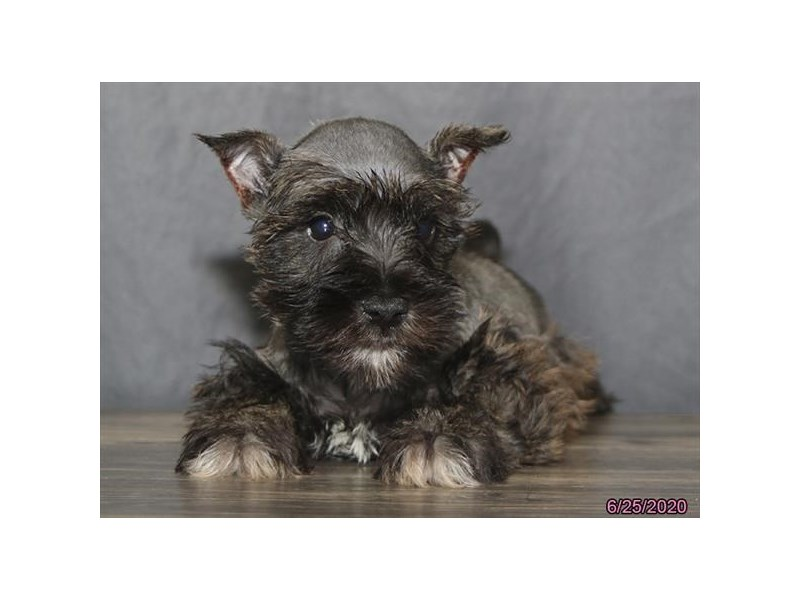 Miniature Schnauzer-Male-Salt / Pepper-2769773-Petland Montgomery