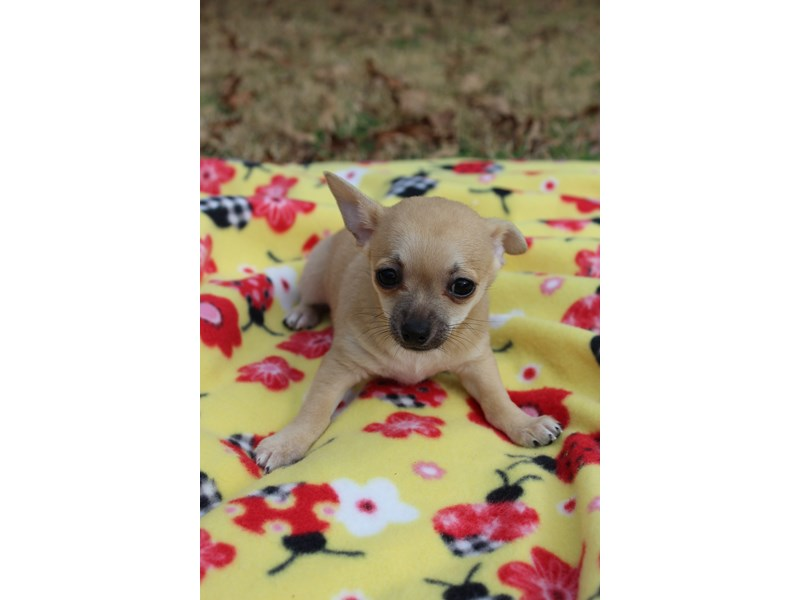 Chihuahua-Male-Fawn Sable-2977357-Petland Montgomery